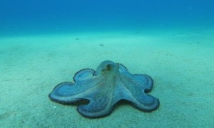 Octopus Glides Along Ocean Floor