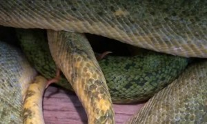 A Look at Spurs of a Male Green Tree Python