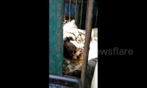 Indian authorities use elephants to catch man-eating tiger