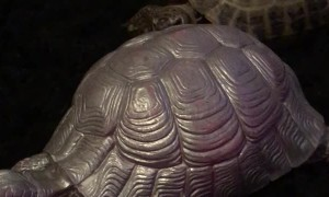 Roly Poly Tortoise