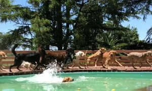 Dogs Race to Enjoy Dip in Pool