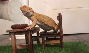 Bearded Dragon Sits Down for Fancy Meal