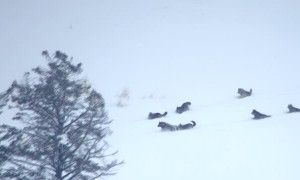 Wolf Pack Gives Chase to Group of Elk