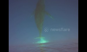 Breathtaking underwater footage shows majestic humpback whales off Hawaii