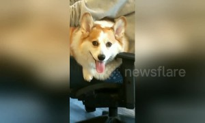 Corgi gives a cheeky wink while working hard in the office