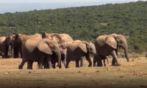 Mom Elephant Comes to the Rescue After Baby Screams for Help
