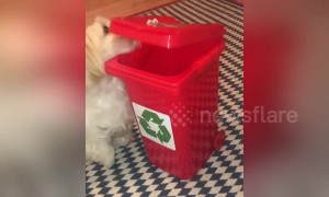 Small dog wants to chip in and help recycle with her own little wheelie bin