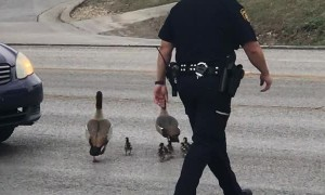 Cop Helps Deliver Ducks Safely Across the Street
