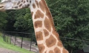 Giraffe Snags a Snack
