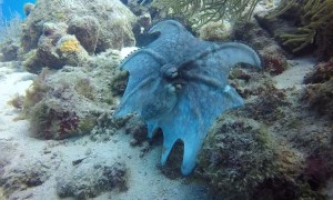 Interesting Octopus Display During Daytime Dive
