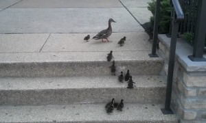 Ducklings adorably attempt to climb steps