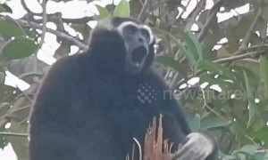 Gibbons sing from tree tops in Cambodian jungle