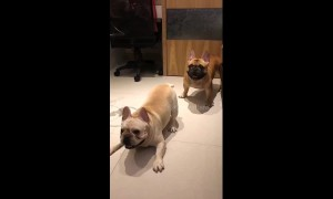 French bulldogs go nuts to sound of drums