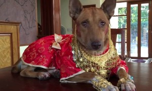 Doggy dressed in red and gold silk for Chinese New Year