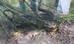 Thai fisherman in shock after finding giant python in his net