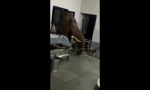 Wild elephant pokes head through window to raid military kitchen