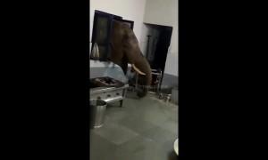 Wild elephant pokes head through window to raid military kitchen