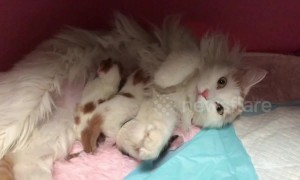 Maternal cat takes great care of her three little kittens
