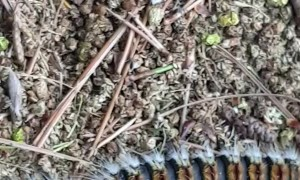 March of the Pine Processionary Caterpillars