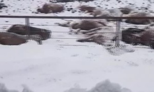 Extreme Cold Causes Tragedy for Cows