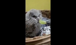 Rescued baby owl doesn't quite like the taste of grapes