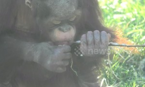 Nature's ice cream? Orangutan baby loves snacking on icy twigs