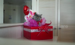 How to wrap your cat for Valentine's Day