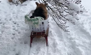 Owners Make Special Sled for Senior Corgi