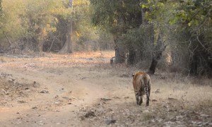Two Territorial Tigers Come Face to Face