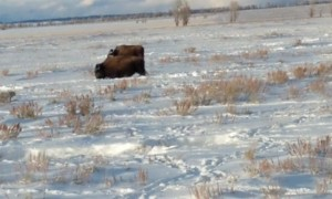 Beautiful Bison Migration in Wyoming
