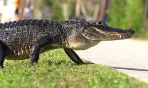 A scene from Jurassic Park! Alligator strolls past tourists in Florida