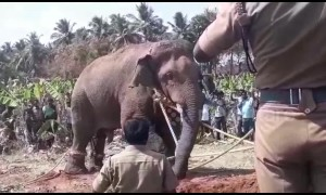 India's most loved rogue elephant Chinna Thambi is finally captured