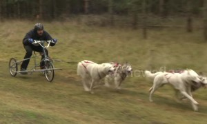 Excited huskies mush around Suffolk forest in dog-racing championship