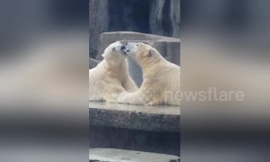 French kissing polar bears captivate visitors at Budapest zoo