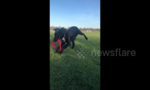 Cocker spaniel puppy tangles himself in frisbee while playing fetch