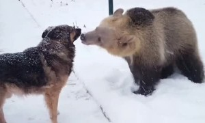 Bear and Dog Playing in the Snow