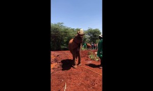 Orphaned baby elephant bottle feeds itself at Kenyan sanctuary