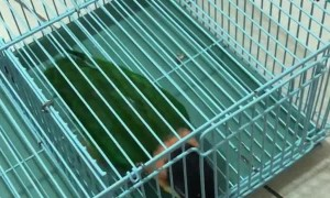 Clever Birds Make Great Escape Artists