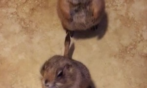 Adorable Prairie Dogs Begging For Treats