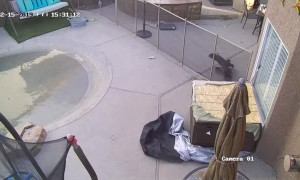Hawk attacks Yorkie