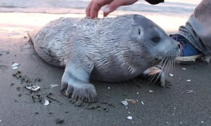 Seal Pup Gets a Good Scratch