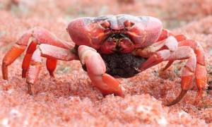 Female Crab Eats Young on the Run