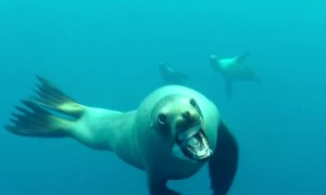 Sea Lion Attempts Attack On Diver In California