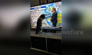 Cat launches attack on TV after bad news from the weather man