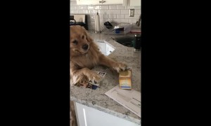 Desperate for a cuppa: golden re-tea-ver tries to grab box from countertop