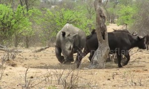 Huge rhino effortlessly steals shady spot from group of buffalo during heatwave