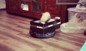 Ferret Goes For a Vacuum Robot Ride