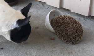 Putting the Hog in Hedgehog