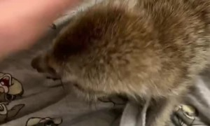 Meerkat Makes Heartwarming Cuddle Noises