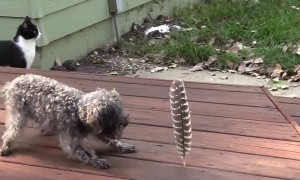 Little dog is afraid of the big feather